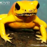 Golden-poison-frog